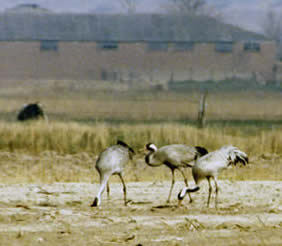1979 - three cranes appear at Horsey